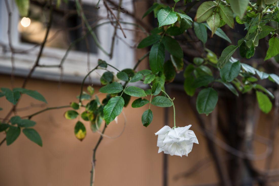 ורד לבן בהוטל מונטיפיורי