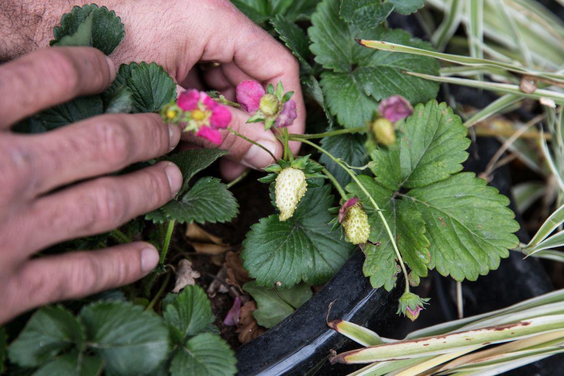יבול ראשון של תותים בקופי בר
