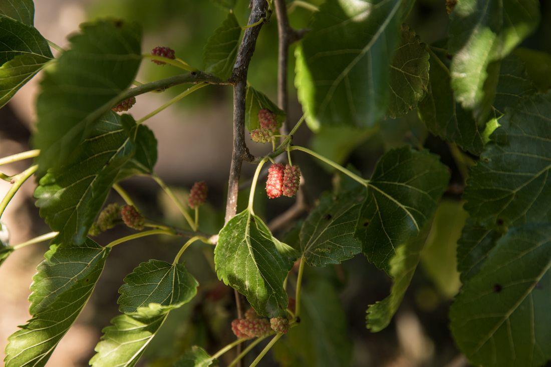 תולשים תותי עץ שרק הבשילו
